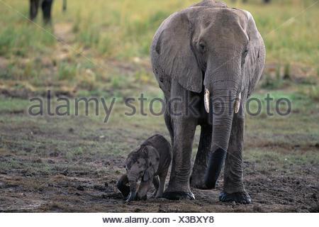 Female Elephant with Calf Savuti Region Near Chobe National Park Botswana, Africa - Stock Photo