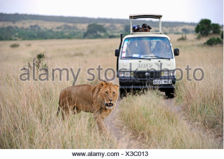 Lion (Panthera leo), male, in front of a safari vehicle, Masai Mara National Reserve, Kenya, East Africa, Africa - Stock Photo