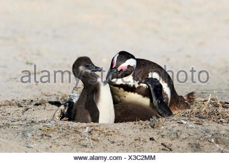 Jackass Penguin with youngs, Boulders Beach, Simonstown, Western Cape, South Africa, Africa / (Spheniscus demersus) - Stock Photo