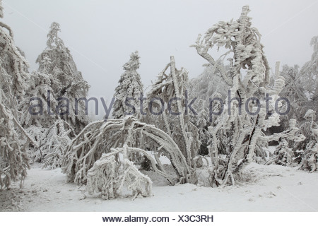 snow covered trees in the Ore Mountains, Germany, Saxony, Erz Mountains - Stock Photo