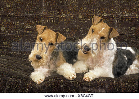 Wire-Haired Fox Terrier, Dog on Sofa - Stock Photo