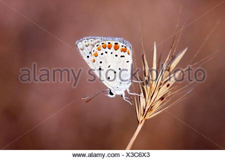 Grass Jewel (Chilades trochylus or Freyeria trochylus) Butterfly - Stock Photo