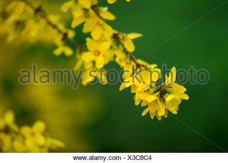 Forsythie, Forsythia intermedia, Sorte Weekend - Stock Photo