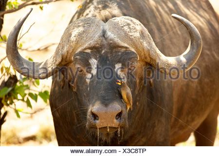 Cape buffalo (Syncerus caffer) with red-billed oxpecker (Buphagus erythrorhynchus) on muzzle, portrait, Kruger National Park - Stock Photo