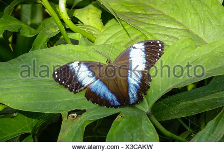 Tropischer Schmetterling, Blauer Morphofalter (Morpho peleides) - Stock Photo
