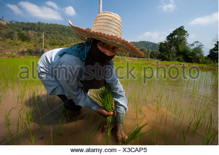 Female farmer with a hat, working in a rice paddy, rice plants in the water, rice farming, Northern Thailand, Thailand, Asia - Stock Photo