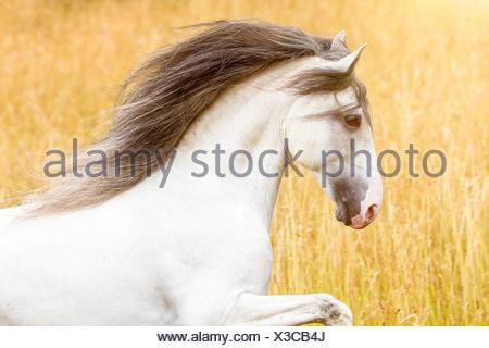 Lusitano. Portrait of gray stallion with mane flowing. Germany - Stock Photo