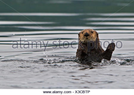 Sea otter Enhydra lutris belongs to the weasel family photographed the west coast northern Vancouver Island British Columbia - Stock Photo