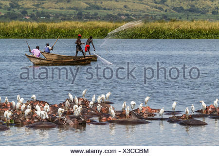 Flock of egret, Bubulcus ibis, resting on hippopotamuses, Hippopotamus amphibius, in water. - Stock Photo