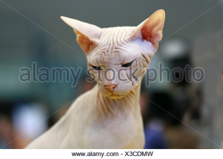 Pedigree Cat - White Sphynx Hairless cat also known as Canadian Hairless - Stock Photo