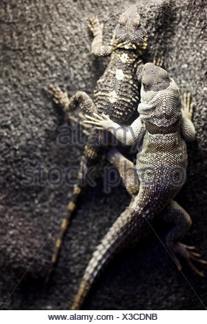 two lizards on a rock - Stock Photo