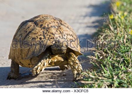 Africa, Kalahari Desert, Leopard tortoise (Geochelone pardalis) - Stock Photo