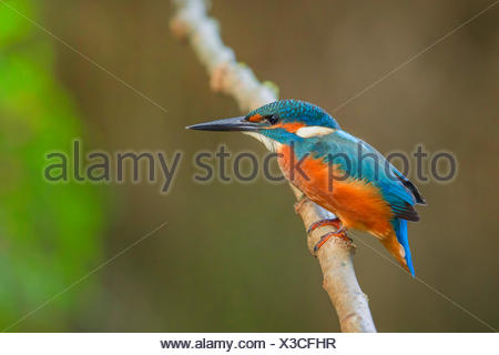 river kingfisher (Alcedo atthis), young male, Germany, Bavaria - Stock Photo