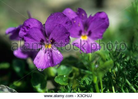 Heartsease or Wild Pansy (Viola tricolor), purple blossoms - Stock Photo