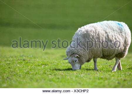 Sheep grazing in sunny green summer field - Stock Photo