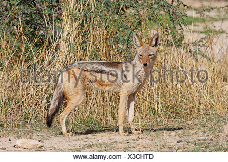 black-backed jackal (Canis mesomelas), standing in the savannah, Kgalagadi Transfrontier National Park - Stock Photo