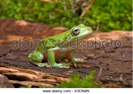 Green Tree Frog White's Treefrog, White's Tree Frog (Litoria caerulea, Hyla caerulea, Pelodryas caerulea), on a stone - Stock Photo