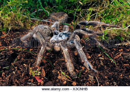 Horned baboon spider, African Rear-horned Baboon, Burst Horned Baboon, Straight Horn Tarantula (Ceratogyrus darlingi, Ceratogyrus bechuanicus, Ceratogyrus schultzei), in terrarium - Stock Photo