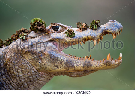 Yacare Caiman, Piquiri River, northern Pantanal, Brazil. Gaping to regulate its body temperature (thermoregulation). - Stock Photo