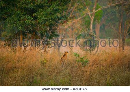 Bengal Tiger hunting, Bandhavgarh National Park, Madhya Pradesh, India