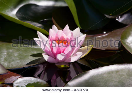 Pink Water Lily (Nymphaea) 'Fabiola' - Stock Photo