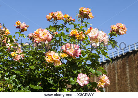 Rosa 'Bonanza', Shrub rose - Stock Photo