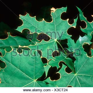 Leaf cutter bee Megachile centucularis damage to maple leaves - Stock Photo
