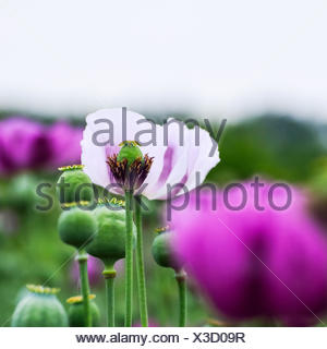 Poppies in purple and white