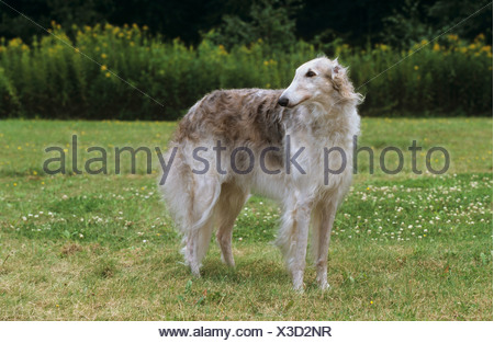 Barsoi - standing on meadow - Stock Photo