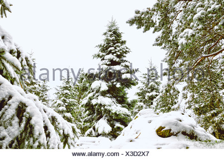 white forest of pines and other conifers - Stock Photo