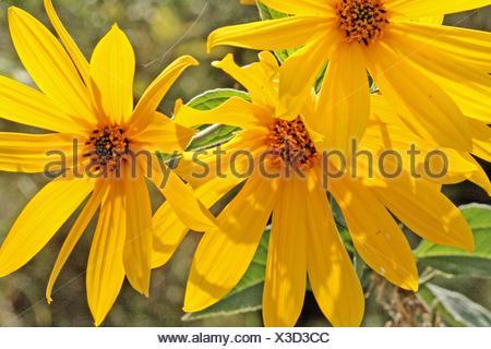 Jerusalem Artichoke, Helianthus tuberosus, Spray of sunflowers From below  Open flowers  The plant belongs to aster family - Stock Photo