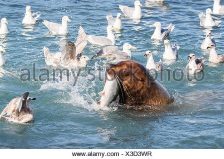 A sea lion swims into the fish weir area and grabs a Pink salmon (Oncorhynchus gorbuscha), Allison Point, outside Valdez - Stock Photo