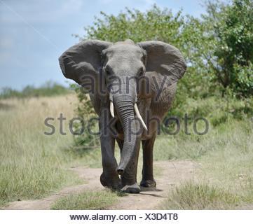 African bush elephant (Loxodonta africana), feint attack, Maasai Mara National Reserve, Narok County, Kenya - Stock Photo