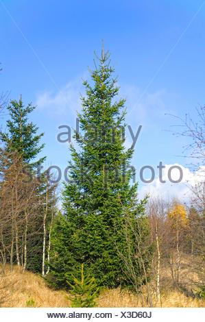 Norway spruce (Picea abies), in Georgenfelder Hochmoor, Germany, Saxony, Georgenfelder Hochmoor - Stock Photo