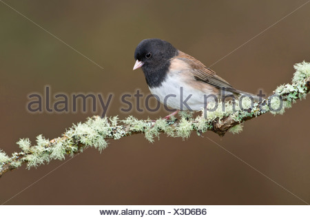 Dark-eyed Junco, Victoria, Vancouver Island, British Columbia, Canada. - Stock Photo