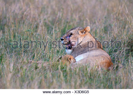 Lioness (Panthera leo) with scarred face suckling her cub, Masai Mara National Reserve, Kenya - Stock Photo