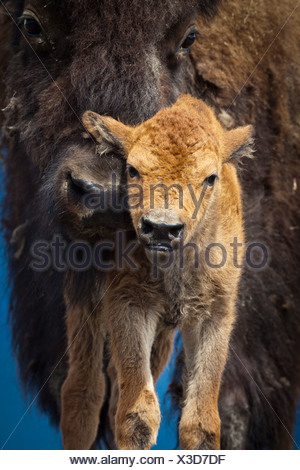 CAPTIVE: Close up of a newborn Wood Bison calf and mother, Alaska Wildlife Conservatiion Center, Southcentral Alaska, Summer - Stock Photo