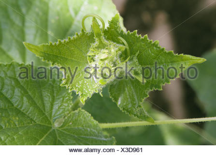 Green cucumber leaves in a vegetable garden - Stock Photo