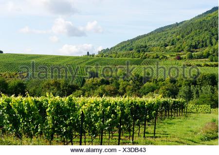 Vineyards, grapevines in Edenkoben, German Wine Route, Palatine wine, Palatinate Forest Nature Reserve, Rhineland-Palatinate - Stock Photo