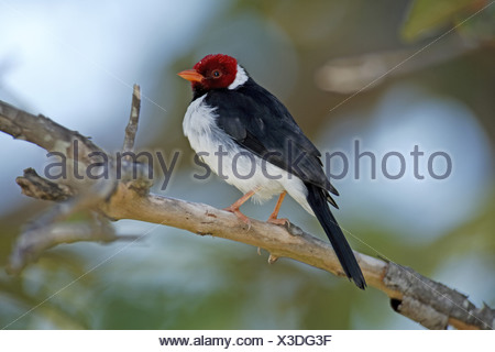 Yellow-billed Cardinal (Paroaria capitata) adult male, perched on twig, Pantanal, Mato Grosso, Brazil - Stock Photo