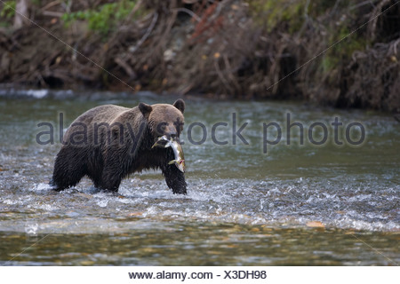 Grizzly bear (Ursus arctos horribilis) female with freshly caught pink salmon (Oncorhynchus gorbuscha) coastal British Columbia - Stock Photo