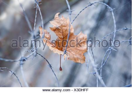 London plane Platanus hispanica Damaged dried leaf caught in barbed wire. Warm brown leaf colour contrasted against cold colour - Stock Photo