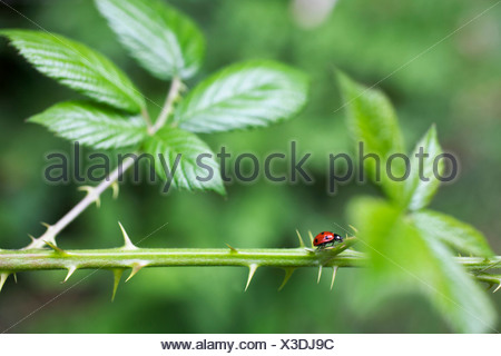 Rubus fruticosus, Blackberry, Wild, Green, Green. - Stock Photo