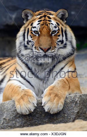 Young Siberian tiger (Panthera tigris altaica) portrait, captive - Stock Photo