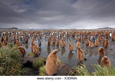 King penguin chicks (Aptenodytes patagonicus) South Georgia Island Antarctica - Stock Photo
