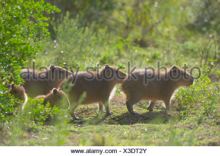 Young Capybaras, (Hydrochoerus hydrochaeris) Laguna Negra, Rocha, Uruguay, South America - Stock Photo