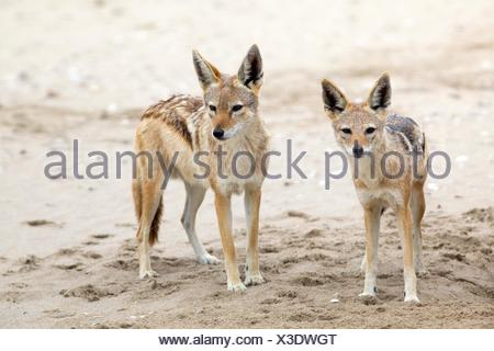 A pair of black-backed jackals (Canis mesomelas), Walvis Bay, Namibia - Stock Photo