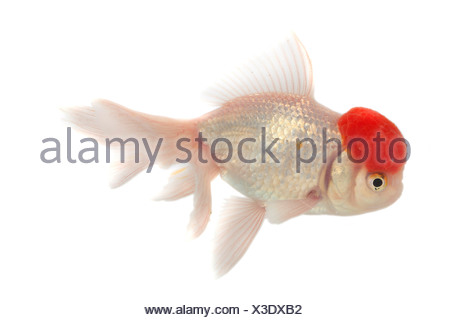 Shishigashira, Veiltail, Carassius auratus auratus, goldfish, common carp, Shishigashira, Fantail, white oranda with red cap, - Stock Photo