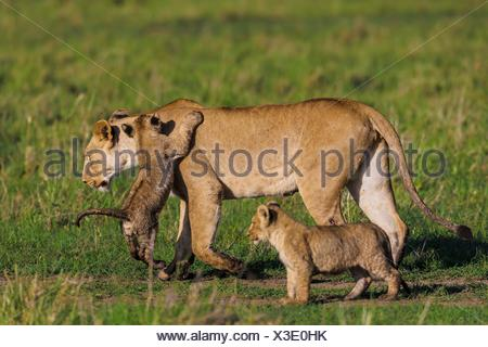 lions - Cubs playing with lioness on a walkabout - Masai Mara National Reserve, Kenya. - Stock Photo