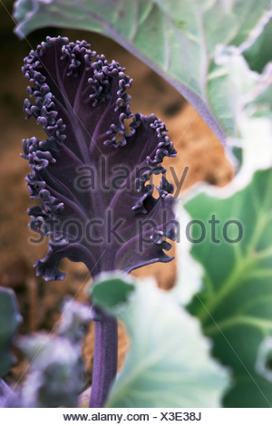 Crambe maritima, Sea-kale - Stock Photo